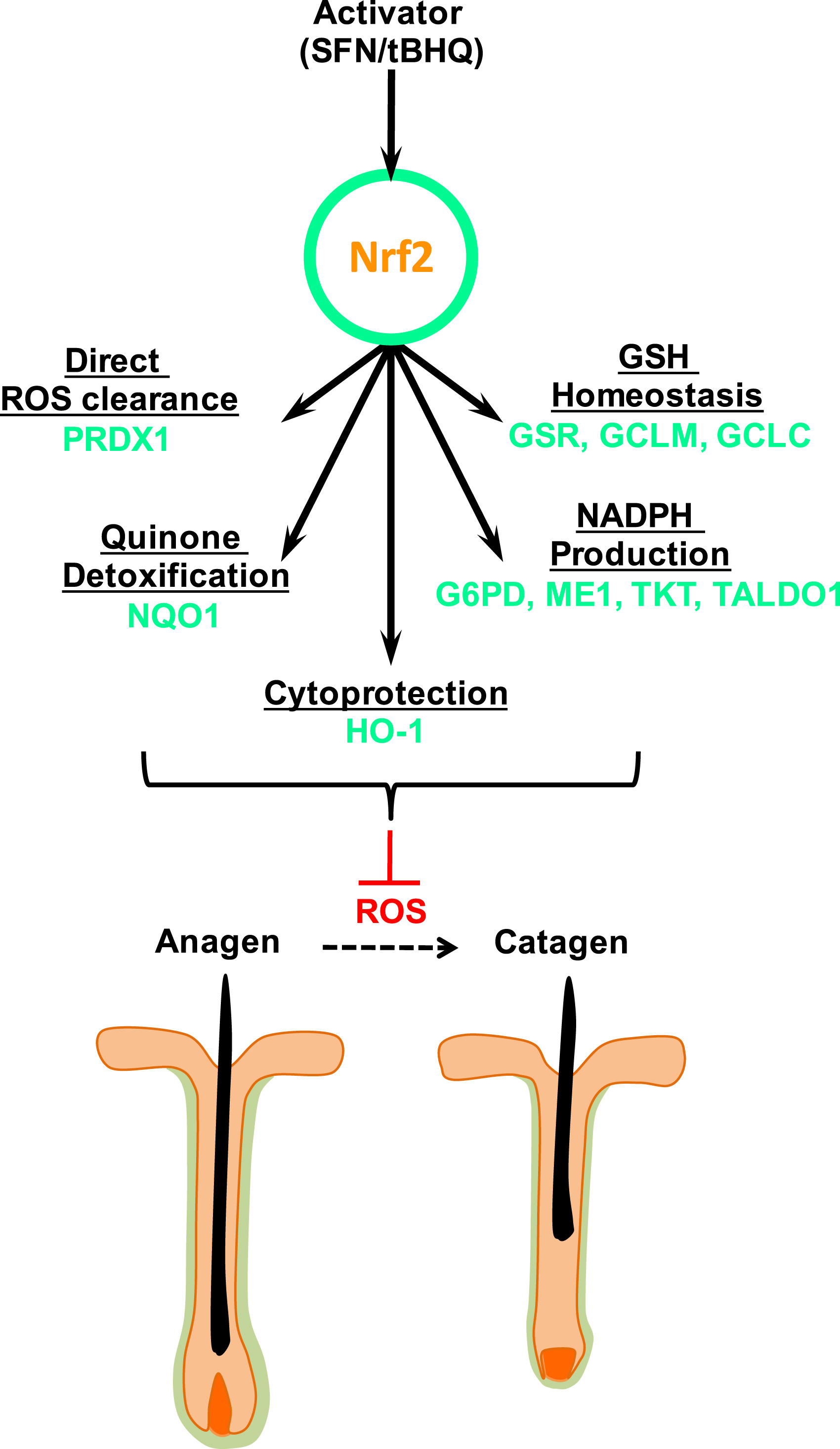 the significance of controlling the gene responsible for apoptosis phenomenon in age control In this review the incidence of apoptosis in the stem cells of both the small and large intestine will be discussed in relation to the expression of a number of apoptosis regulating genes (eg p53, bcl‐2, bax) within these cells the importance of apoptosis as a means of controlling stem cell number (and therefore cellular output) will be.